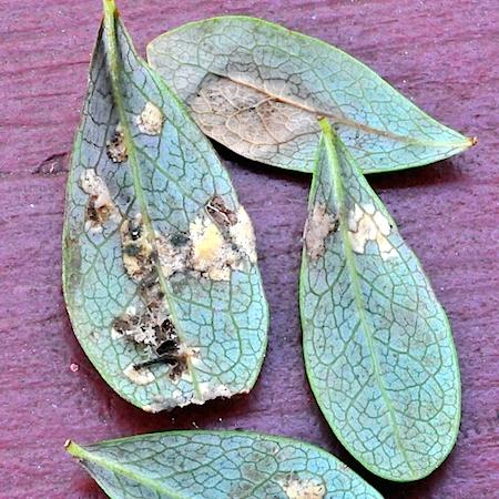 Exobasidium pachysporum
