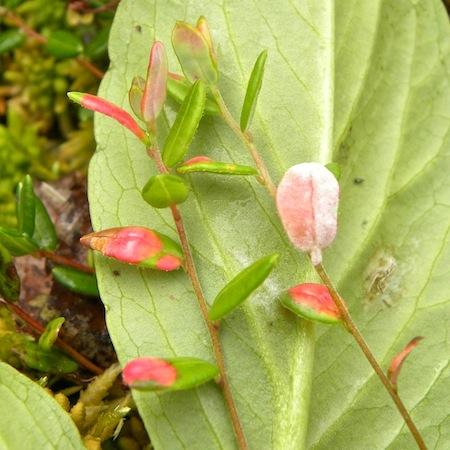 Exobasidium rostrupii