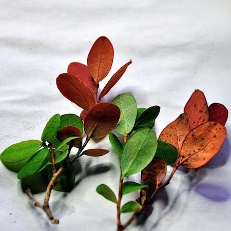 Exobasidium expansum