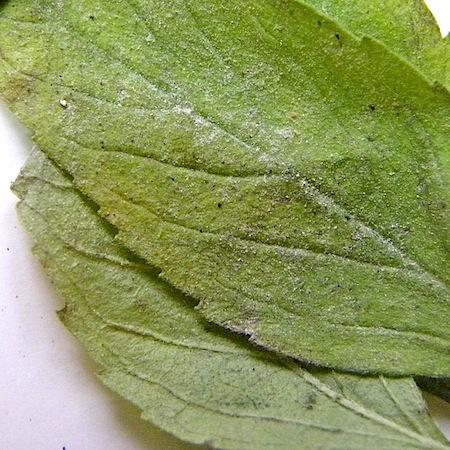 Golovinomyces biocellatus