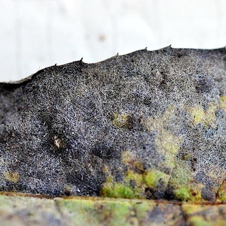 Golovinomyces cichoracearum