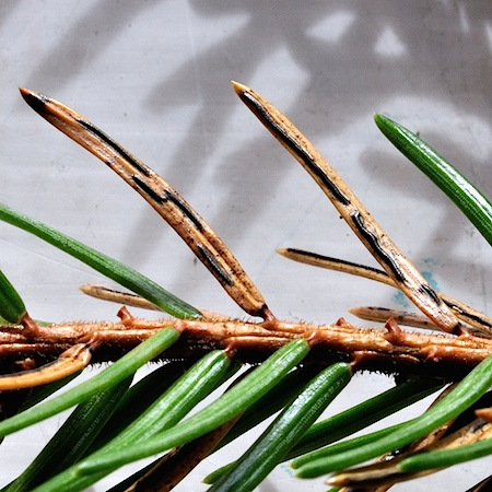 Lirula macrospora