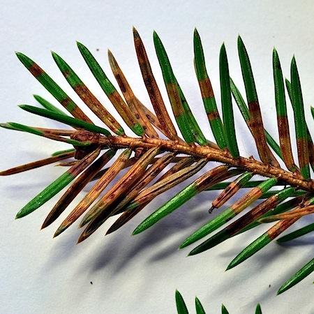 Lophodermium abietis