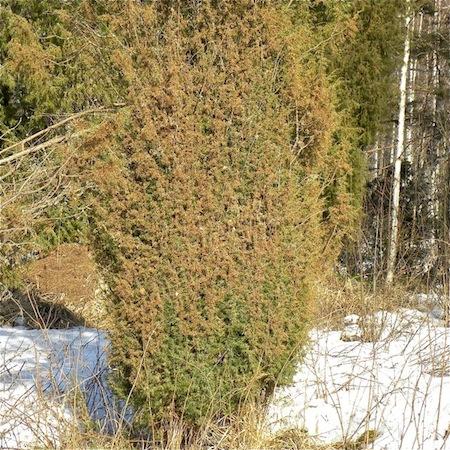 Lophodermium juniperinum