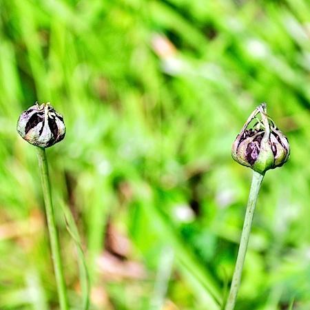 Microbotryum_tragopogonis-pratensis