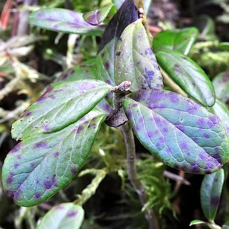 Mycosphaerella stemmatea