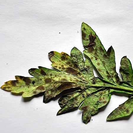 Passalora ferruginea