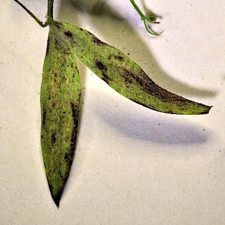 Peronospora fulva