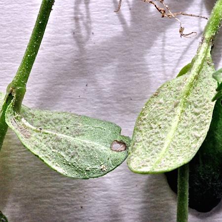 Peronospora grisea