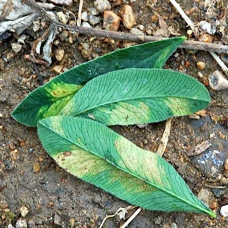 Peronospora trifoliorum