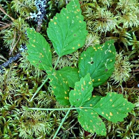Phragmidium acuminatum