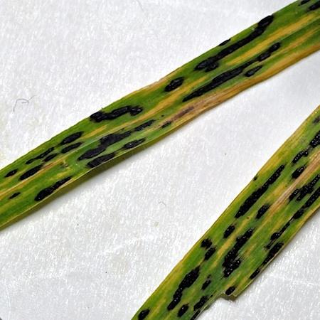 Phyllachora graminis
