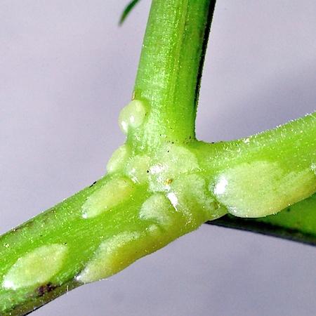 Protomyces macrosporus