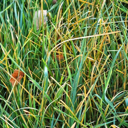 Puccinia agrostidis