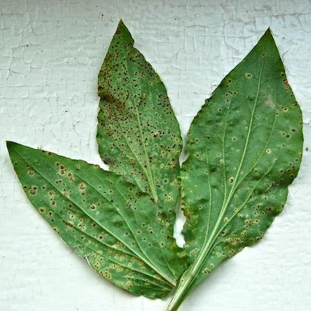 Puccinia arenariae