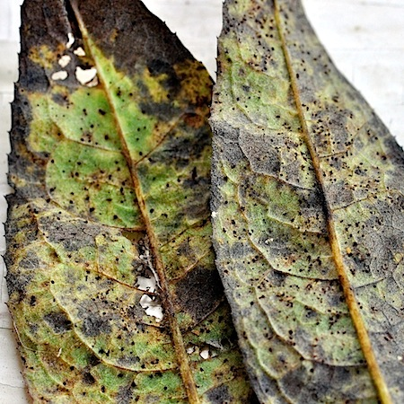 Puccinia carthami