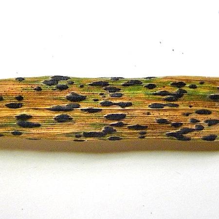 Puccinia coronata
