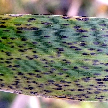 Puccinia phragmitis