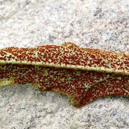 Puccinia punctiformis