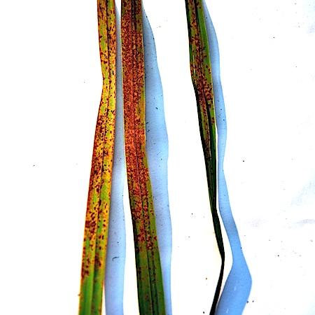 Puccinia silvatica