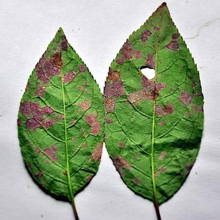 Pucciniastrum areolatum