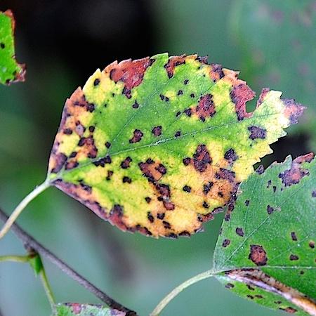 Pyrenopeziza betulicola