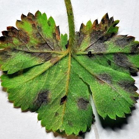 Ramularia haplospora