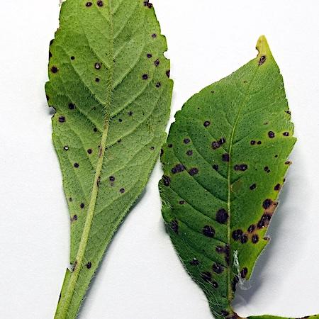 Septoria scabiosicola