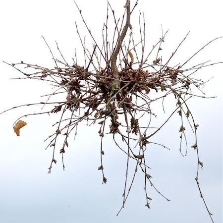 Taphrina betulina