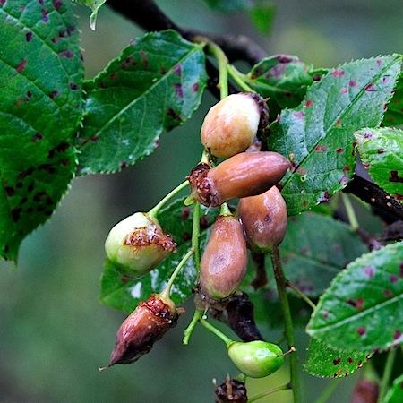Taphrina pruni