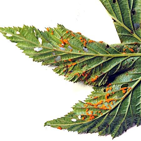 Triphragmium ulmariae