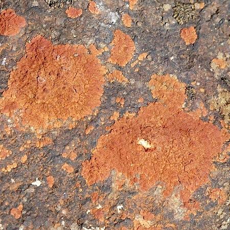 Acarospora sinopica