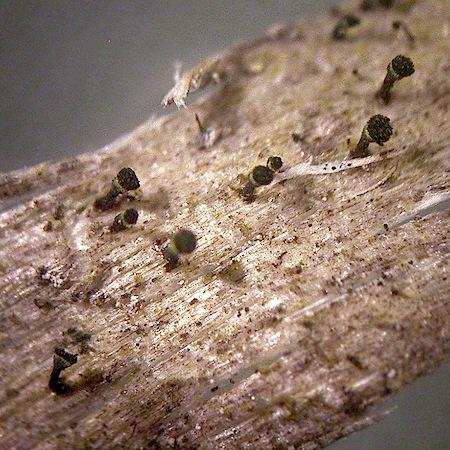 calicium trabinellum