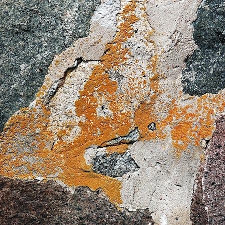 Caloplaca saxicola