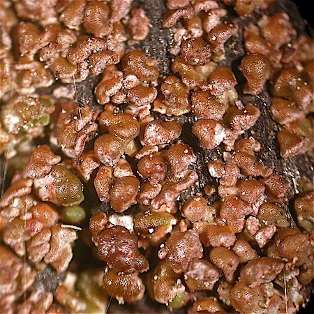 Carbonicola myrmecina