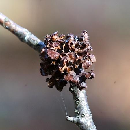 Cetraria sepincola