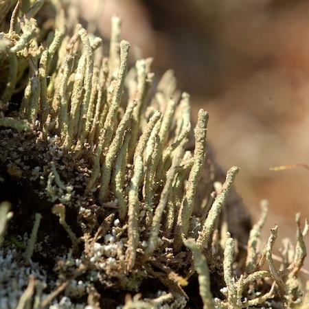 Cladonia bacilliformis