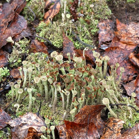 cladonia chlorophaea