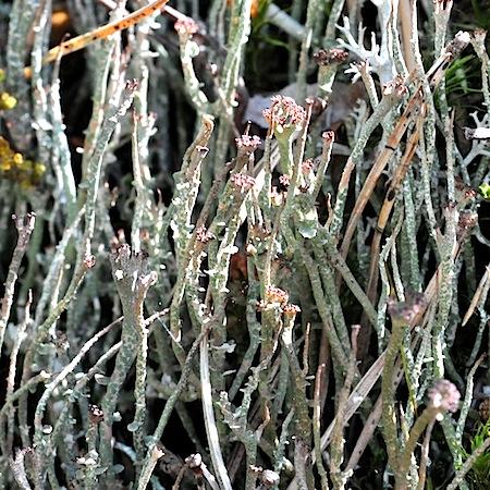 Cladonia gracilis ssp. gracilis)