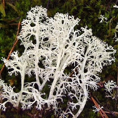 Cladonia mitis