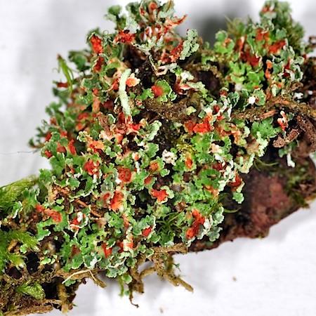 Cladonia norvegica