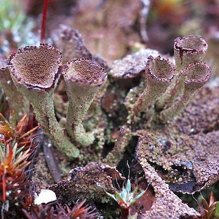 Cladonia novochlorophaea