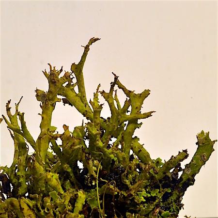 Cladonia subfurcata