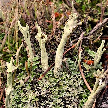 cladonia sulphurina