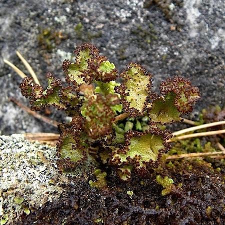 cladonia verticillata