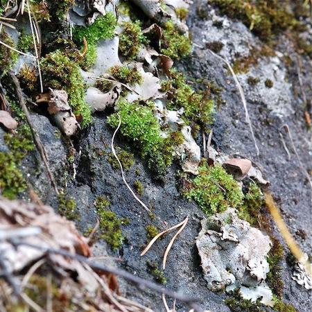dermatocarpon miniatum