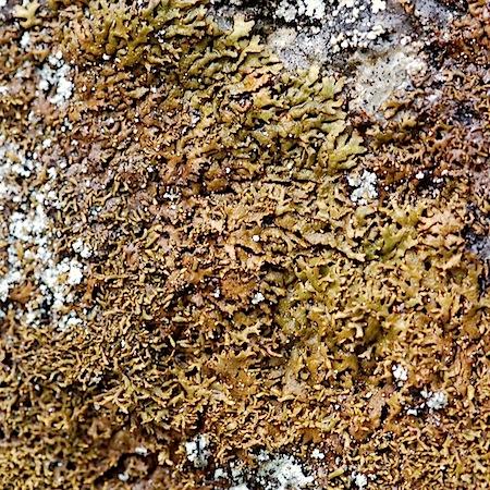 Montanelia panniformis