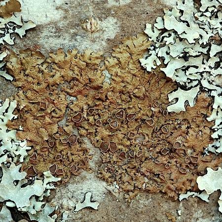 Melanohalea olivacea