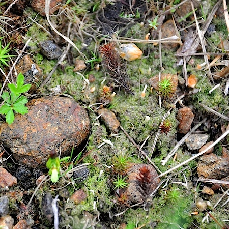 Multiclavula corynoides
