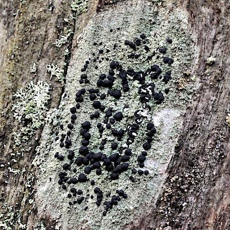 Mycoblastus sanguinarius